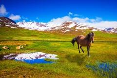 Isländska hästar för fjärd som betar i ängen Royaltyfri Foto