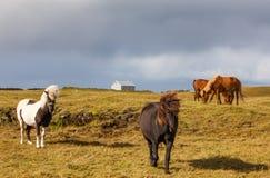 Isländska hästar i en fridsam äng Fotografering för Bildbyråer