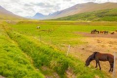 Isländska hästar i sommar Arkivfoton