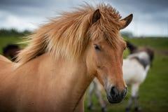 Isländska hästar i sommar, Island arkivfoto