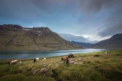 Isländska hästar på beta arkivfoton