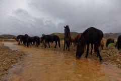 Isländska hästar vid floden Arkivbilder