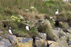Isländska lunnefåglar på en klippa arkivfoton