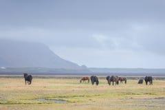 Isländska vildhästar i beta Arkivbild