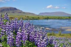 Isländska violetta blomma blommor & x28; Lupins& x29; i scenisk sikt med berg och sjön som är typiska för Island Royaltyfri Bild