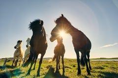ISL - ICELANDIC HORSE