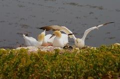 Isla alemana Helgoland - gannets norteños Fotografía de archivo libre de regalías