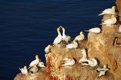 Isla alemana Helgoland - gannets norteños Foto de archivo libre de regalías