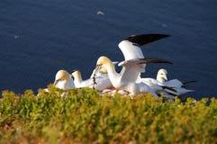 Isla alemana Helgoland - gannets norteños Fotografía de archivo