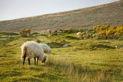 Isla de Achill, ovejas Fotografía de archivo