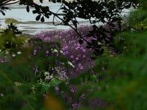 Isla de las flores de la púrpura de Bryher imágenes de archivo libres de regalías