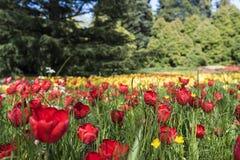 Isla Mainau Alemania del flor del tulipán Imagen de archivo libre de regalías