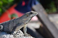 Isla mujeres lizard Stock Image
