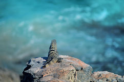 Isla mujeres lizard Royalty Free Stock Images