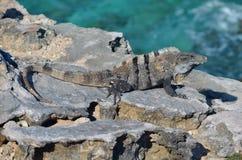 Isla mujeres lizard Stock Images