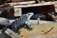 Isla mujeres lizard Stock Photos