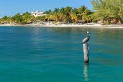 Isla Mujeres pelikan obraz stock