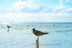 Isla Mujeres-vogels van het eiland de Caraïbische strand stock foto