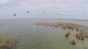 Isla que recibe a las colonias de pelícanos dálmatas, visión aérea metrajes