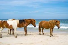 Isla Wildhorses de Assateague Fotografía de archivo libre de regalías