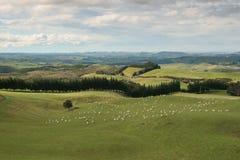 islan πρόβατα βόρειου λιβαδι&o Στοκ εικόνα με δικαίωμα ελεύθερης χρήσης