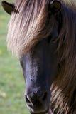 Islandés-caballo Fotos de archivo