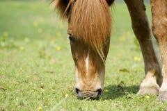 Islandés-caballo Foto de archivo libre de regalías