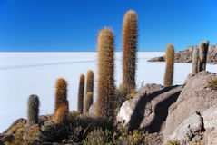 Island with cactus salar de uyuni Stock Images