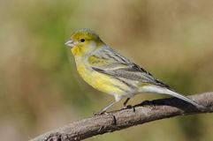 Island Canary - Serinus canaria. On the branch in Tenerife, Canary Islands royalty free stock photo