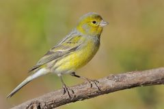 Island Canary - Serinus canaria on the branch in Tenerife, Canary Islands. Sitting near the water pond royalty free stock photo