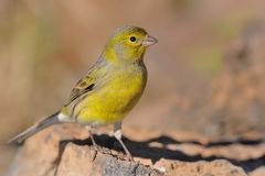 Island Canary - Serinus Canaria On The Branch In Tenerife, Canary Islands Stock Photos