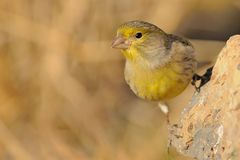 Island Canary - Serinus canaria. On the rock in Tenerife, Canary Islands Stock Photography