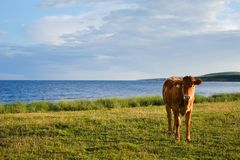 Island Cow. Cow by the sea on the island of Islay, Scotland Royalty Free Stock Image