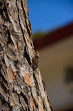 On the island of Crete contain a large number of cicadas Royalty Free Stock Image
