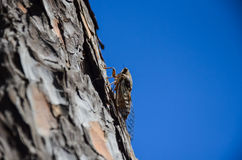 On the island of Crete contain a large number of cicadas Stock Photo