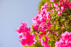 On the island of Crete grow beautiful red flowers Royalty Free Stock Photography