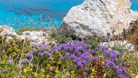Island of Favignana, Trapani, Sicily - Mediterranean scrub flora right over the turquoise sea, with rosemary and other wild herbs. Mediterranean scrub flora Royalty Free Stock Photography