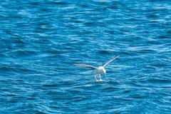 Island fiskmåsplan på vattnet Royaltyfri Bild