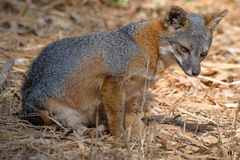 Island fox, Channel Islands National Park. This one was photographed on Santa Cruz Island. The island fox only lives on some of the Channel Islands off the coast royalty free stock images