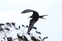 Island of frigate birds Royalty Free Stock Image