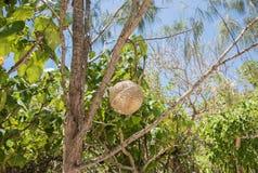 Mystery Island Fruit. Island fruit growing on tropical tree on remote Mystery Island, Vanuatu Stock Images