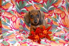 Island Girl Dachshund Puppy Royalty Free Stock Images