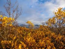Island - guld- blommor som förebådar höst royaltyfri bild