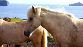 Island häst Fotografering för Bildbyråer
