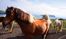 Island häst Royaltyfria Bilder