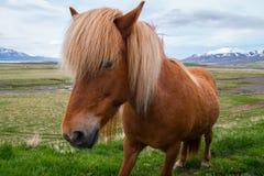 Island häst Arkivfoto