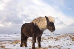 Island häst, vinter Royaltyfria Foton