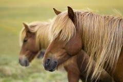 Island hästar Royaltyfri Fotografi