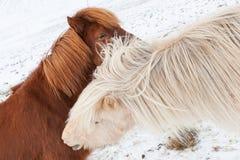 Island hästar i vinter iceland royaltyfri fotografi