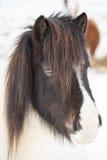 Island hästar i vinter iceland arkivbild